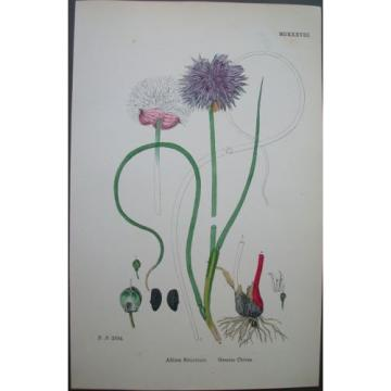 Lot of 6  Wild Leek Garlic Chives Sowerby English Botany Hand Colored Prints
