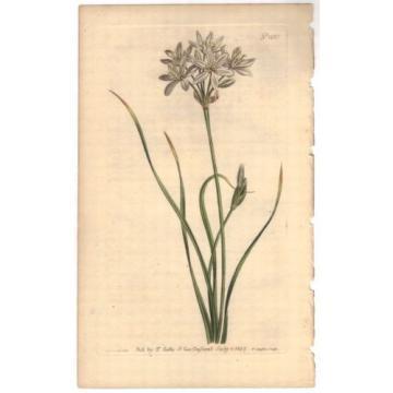 1807 Curtis botanical Print Allium Striatum Streak-Leaved Garlic 1035 Wildflower