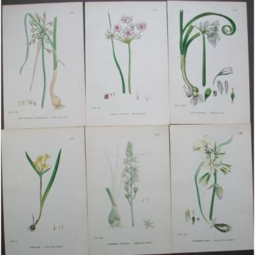 Lot of 6 Bulbs Star of Bethel Garlic Sowerby English Botany Hand Colored Prints