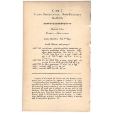 1806 Curtis botanical Print Allium Paniculatum Rose-Colore Garlic 973 Wildflower