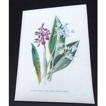 Print Common Orchis & Broad Leaved Garlic