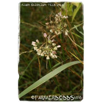 Allium oleraceum 'Field Garlic' [Ex. Co. Durham] 25+ Bulbils