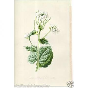 Vintage Wild Flowers Print Chromolithograph c1885 Garlic Mustard or Sauce Alone
