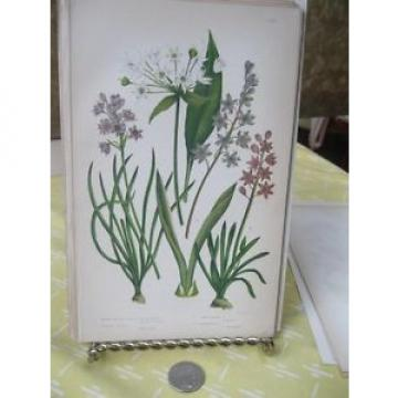 Vintage Print,BROAD LEAVED GARLIC,Flowering Plants Great Britain,1880,Pratt