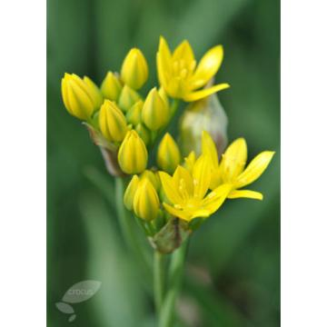 10 Golden Lady bulbs (Golden Garlic) / Allium moly