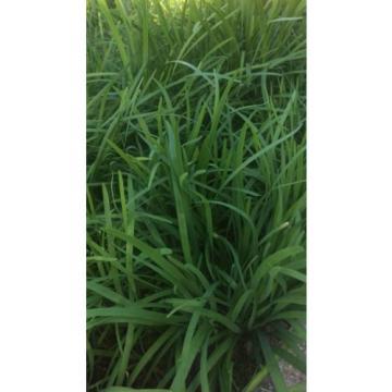 50X  Garlic Chives  (Allium tuberosum) Fresh Bare-Root Plants  韭菜根
