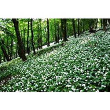Wild Garlic Allum Ursinum 20 Herb Seeds