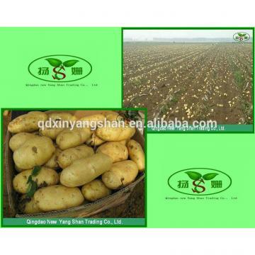 Pure 2017 year china new crop garlic Purple  Garlic,  Normal  Purple  Garlic