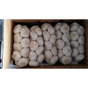 Normal 2017 year china new crop garlic white  fresh  garlic  with  carton mesh bag