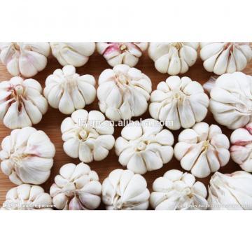 China Galic Fresh And Cheapest Price (white And Red )
