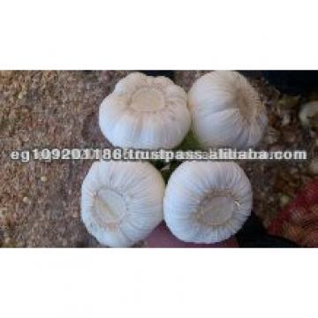 Egyptian garlic