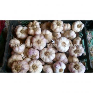 egyptian red garlic