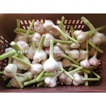 Fresh Red ( Chines type ) Egyption Garlic