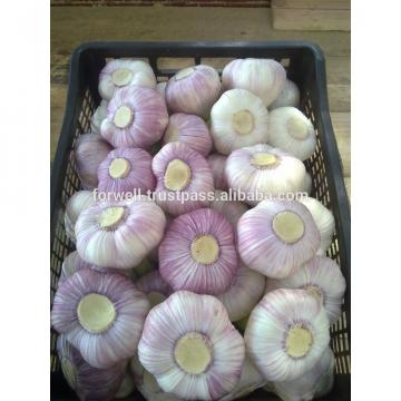 High Quality Best Price 100% Natural Egyption Fresh Super White Garlic