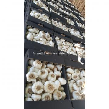 DRY GARLIC FROM EGYPT RED AND WHITE GOOD PRICE