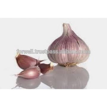 MODERN Fresh Egyptian Garlic