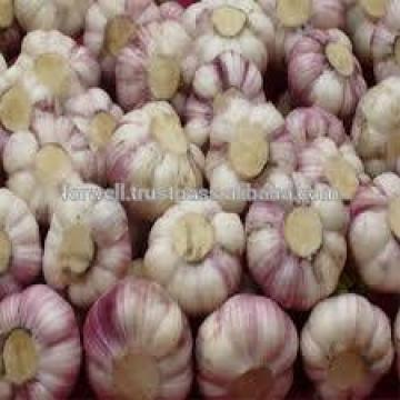 UP-TO-DATE GARLIC
