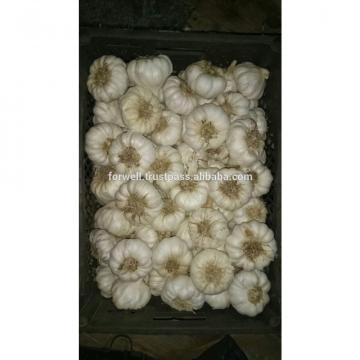 NOVEL Fresh Egyptian Garlic...NATURAL GARLIC