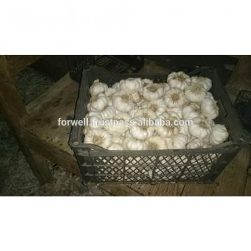 HIGH Fresh Egyptian Garlic