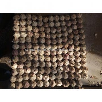 Best Garlic Supplier in China 10g/carton 5.5cm