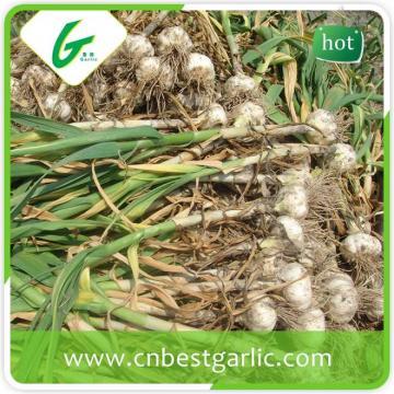 New fresh white big size new crop natural garlic