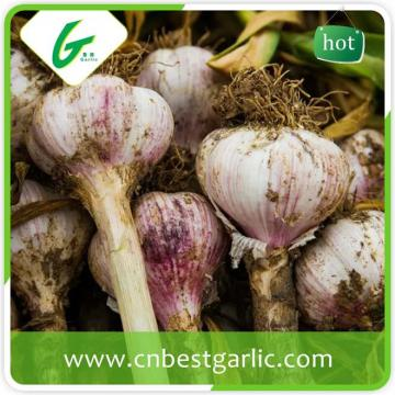 Wholesale fresh white garlic price with 3pcs purple garlics with high quality