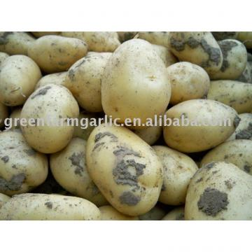 fresh holland potato in shandong