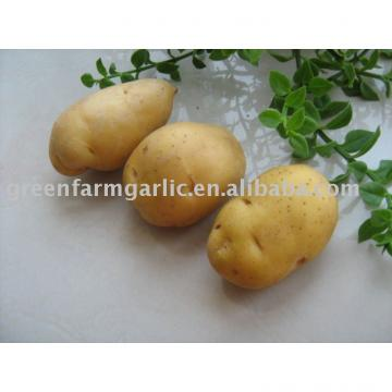 new crop fresh Holland 7 Potato