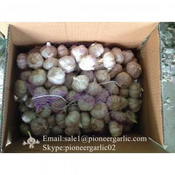 Loose Packing 5-5.5cm Fresh Red Garlic Produced In Jinxiang Shandong China