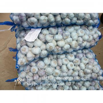 2017 New Crop 5cm Purple Fresh Garlic 10kg Mesh Bag Packing