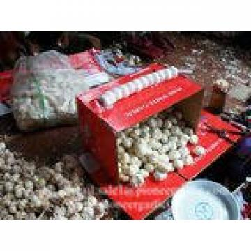 New Crop 6cm and up Normal White Fresh Garlic In 10 kg Box packing