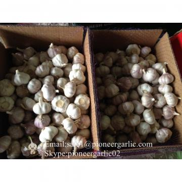 5.5cm Normal White Fresh Purple Garlic Exported to Senegal