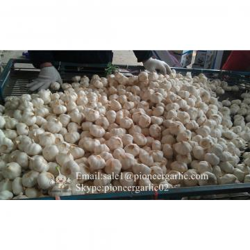 Nature Made 4.5-5.0cm Normal White Garlic Material of Black Garlic in Mesh Bag