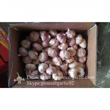 Wholesaler of Chinese Jinxiang Garlic Purple Garlic 5.5cm with Nice Price
