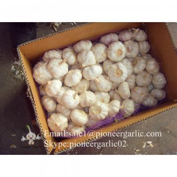 Best seller Normal White Garlic 4.5cm-5.0cm Packed in Mesh Bag or Carton Box