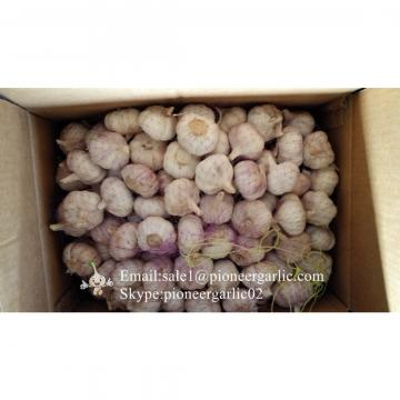 Chinese Natural 5cm Red Garlic Loose Packing In 5kg Box