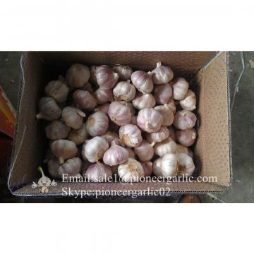 5.5cm-6.0cm Normal Garlic Produced in Jinxiang Factory Best Quality