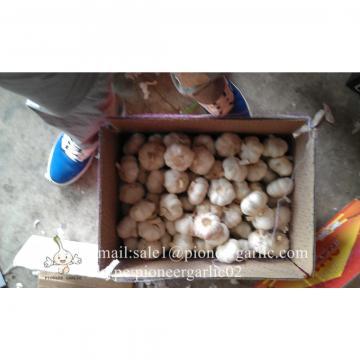 5-5.5cm Chinese Fresh Normal White Garlic In 10kg Carton Box Packing