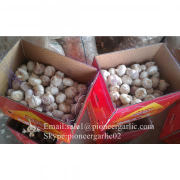 5.5cm and Up Red Garlic Small Packing in Carton Box