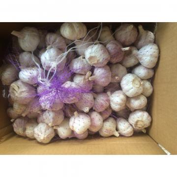 Hot Sale Chinese Red Fresh Garlic with Nice Price