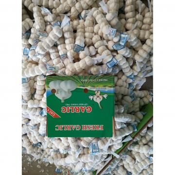 Best Quality 5.0cm 100% Pure White Fresh Garlic with favorable Price