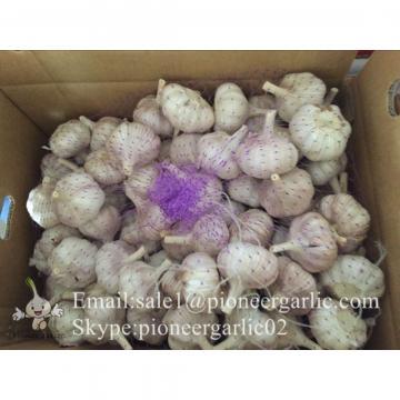 2017 New Crop 4.5cm Purple Fresh Garlic 10kg Mesh Bag Packing