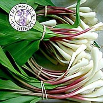 Rare Bear's Garlic - 8 seeds - UK SELLER