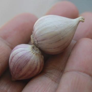 10 bulbs live Single Clove Garlic, Fresh Solo Garlic to Grown or Eaten#F