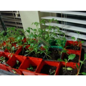 WYOMING. Organic Garlic  100 + Bulbs , Heirloom, For Planting  LARGE BULBS