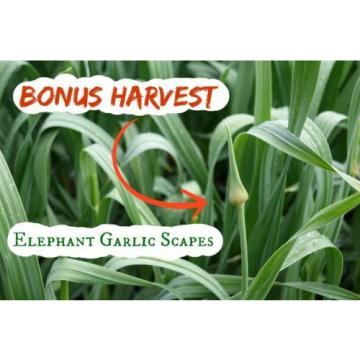 Gourmet Elephant Garlic 1 Bulb 1/2 Lb Great for your Garden Non GMO many uses