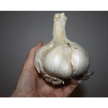 Elephant Garlic  ~ Huge!! ~ Easy to Grow ~~ Allium Ampeloprasum ~~~~~ 2 Bulblets