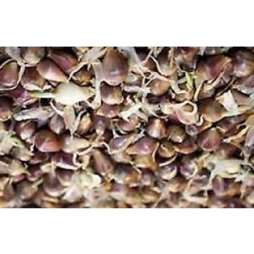"Romanian Red Garlic- 25 bulbils ""seeds""- no GMO-organic"