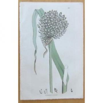 Sowerby: Allium Round Headed Garlic - 1806