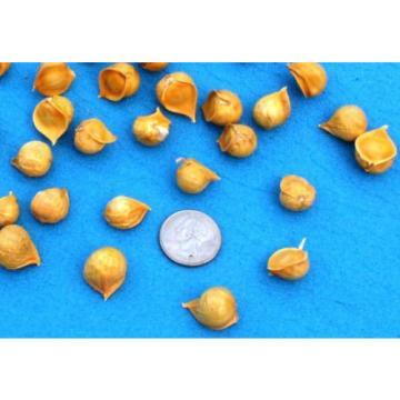 Gourmet Elephant Garlic SEEDS: 30 BULBILS (Corms, Korms, Bulblets) KY grown 2017